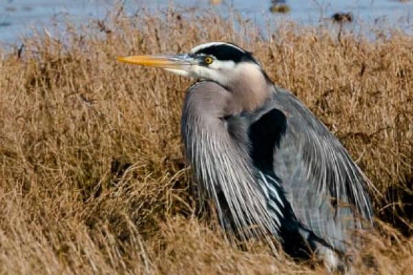 Great Blue Heron in Nahcotta Washington