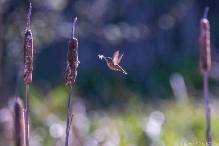 Rufous Hummingbird Willapa Bay
