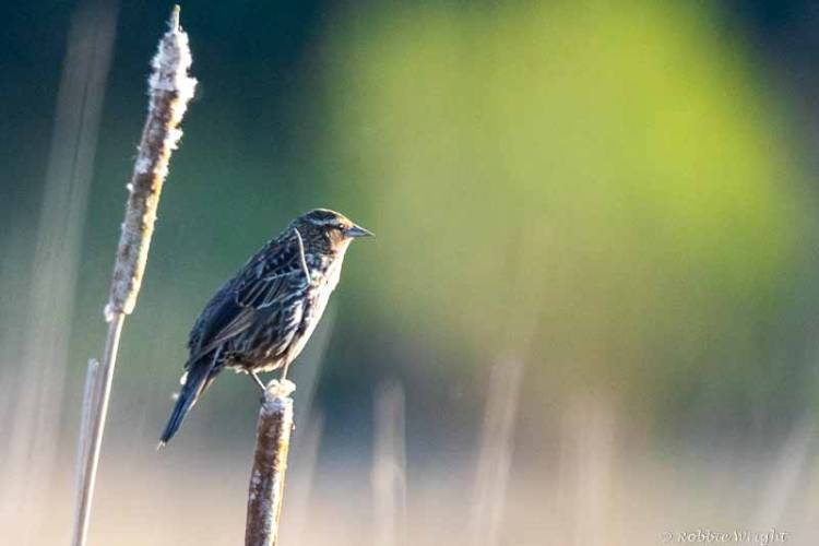 Female Red-winged Blackbird in reeds
