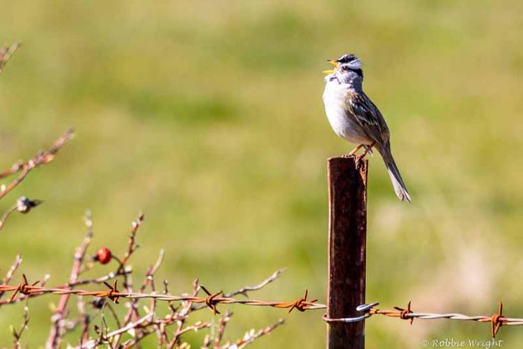 White Crowned sparrow singing on a fence