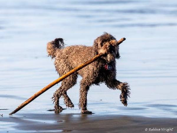 Labroodle carrying a big stick on the beach