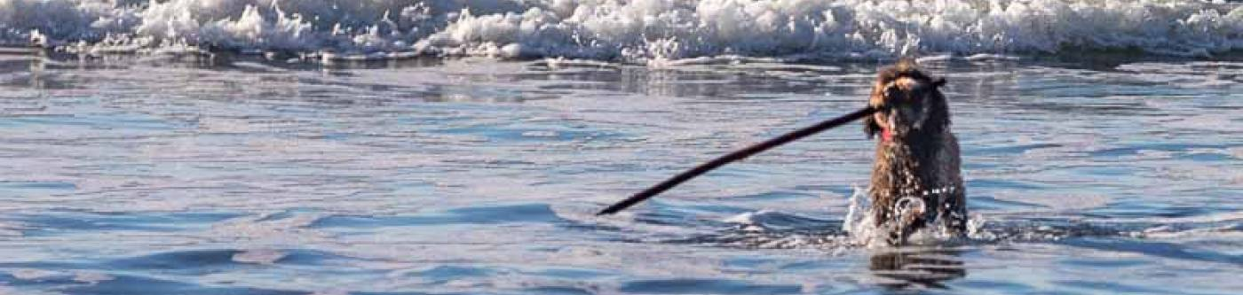 Dog with a stick in the surf